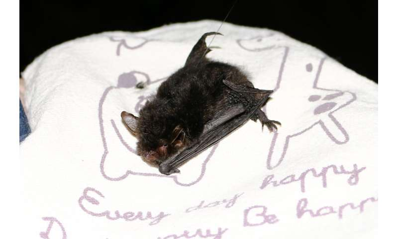Capturing of the rare Yanbaru whiskered bat