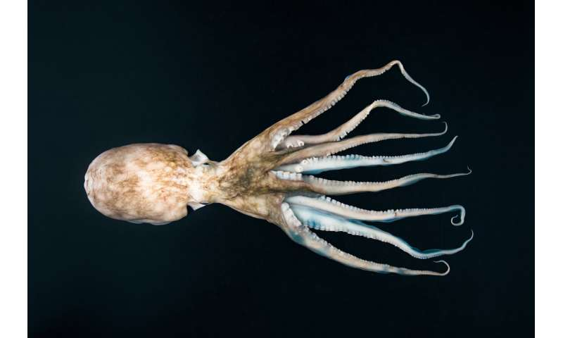 Cephalopods could become an important food source in the global community