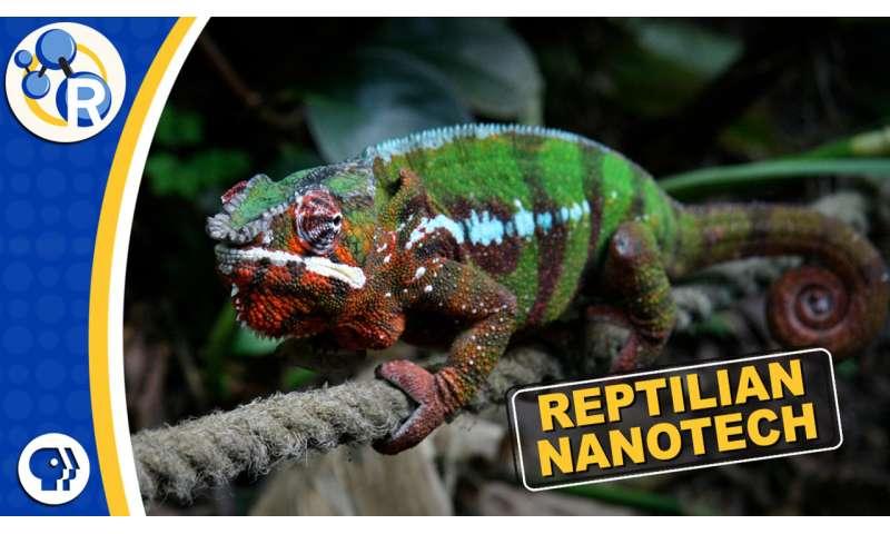 Chameleons are masters of nanotechnology (video)