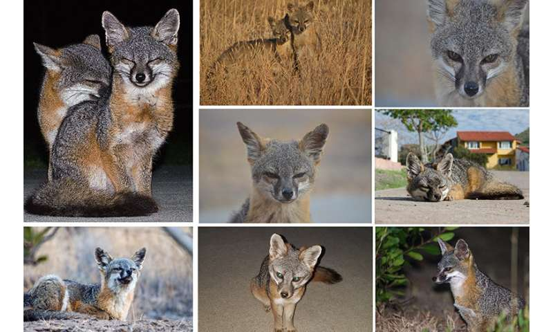 Channel Island foxes make a comeback