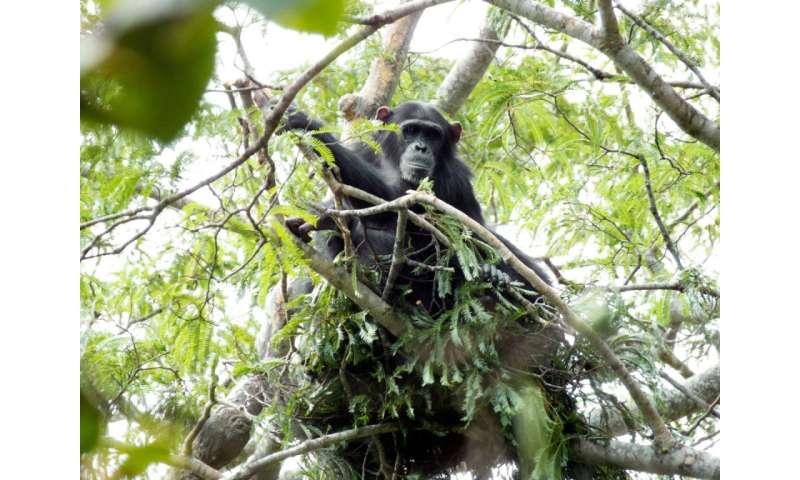 Chimpanzee 'nests' shed light on the origins of humanity