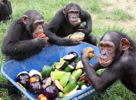 Chimpanzees react faster to cooperate than make selfish choices