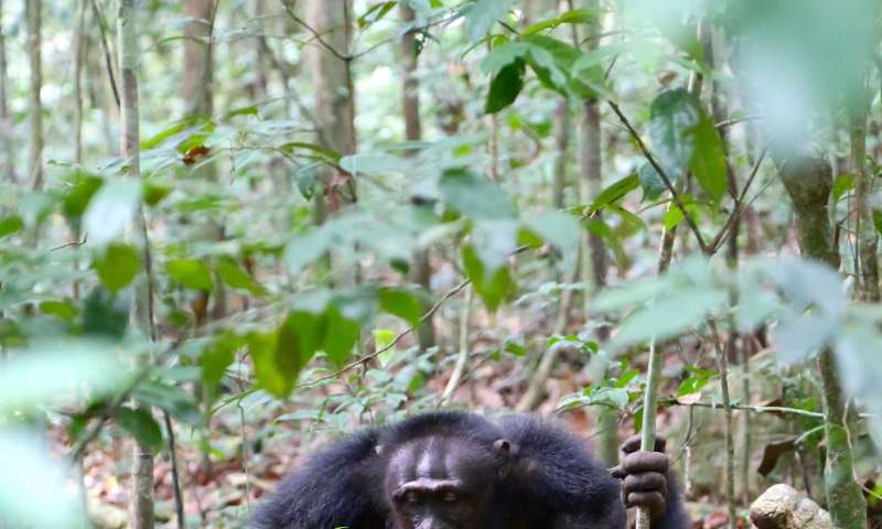 Chimpanzees start using a new tool-use gesture during an alpha male take over