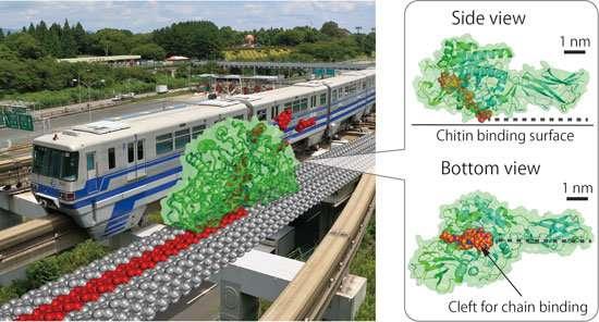 Chitinase as 'burnt-bridge' Brownian monorail efficiently hydrolyzing recalcitrant biomass
