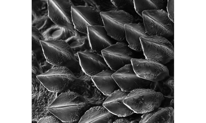 Hexbyte - News - Science/Nature | Codebreaker Turing's theory explains how shark scales are patterned