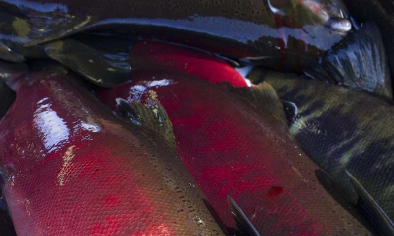 Coho salmon die, chum salmon survive in stormwater runoff research
