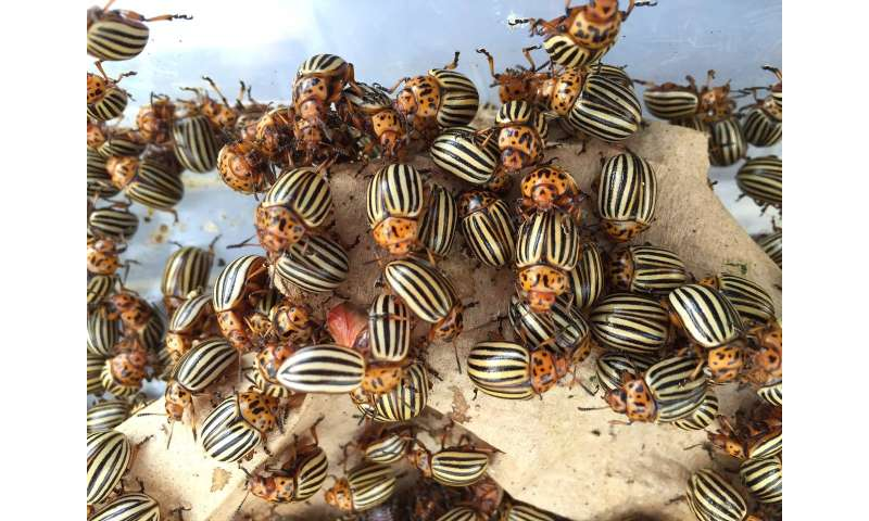 Colorado potato beetle genome gives insight into major agricultural pest