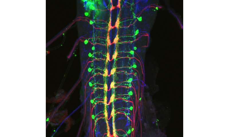Columbia scientists locate nerve cells that enable fruit flies to escape danger