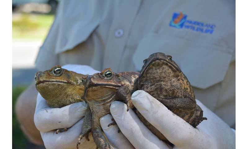 ab711e00ae217 Come hither... how imitating mating males could cut cane toad numbers
