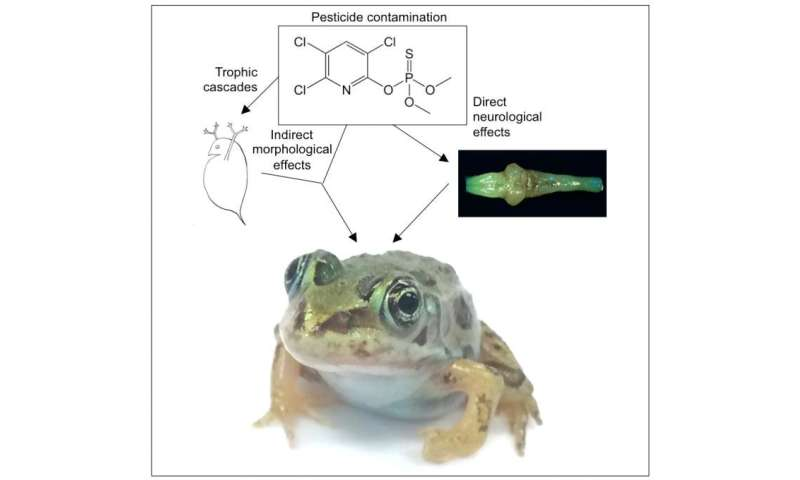 Common pesticide inhibits brain development in frogs