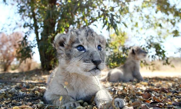 Conceived through artificial insemination in a world first, the two lion cubs were born on August 25
