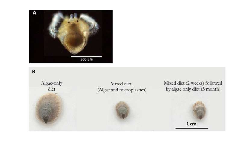 Crepidula onyx resilient towards microplastic diet