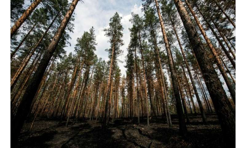 "Critics say that the forest industy in Sweden has laid out a ""red carpet"" for wildfires by planting pine trees closely"