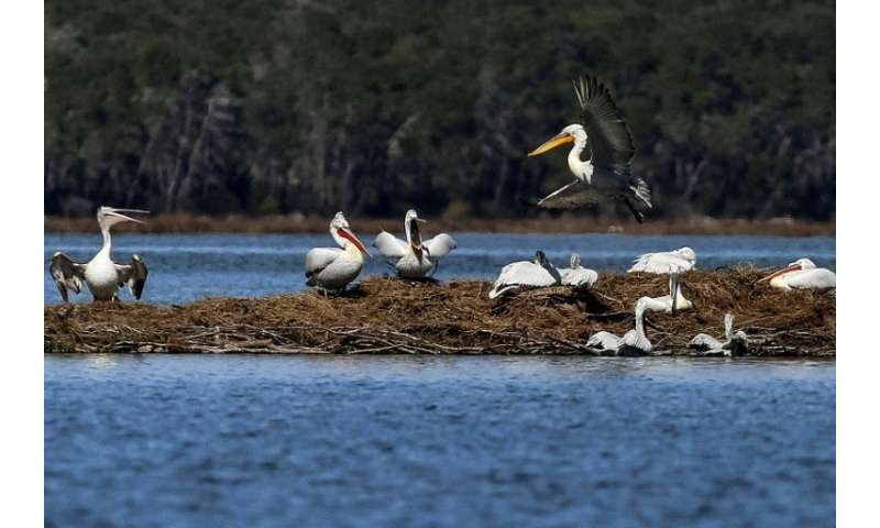 Dalmatian pelicans nesting in the Karavasta lagoon, part of the Divjaka Karavasta National Park in Albania