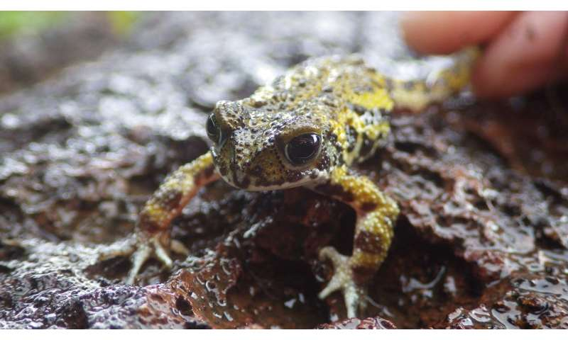 Deadly fungus found for first time in critically endangered amphibian species