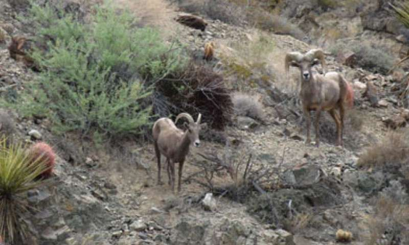 Desert bighorn sheep are crossing Interstate 40 in California