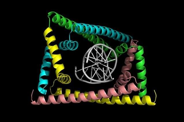 Detangling DNA replication