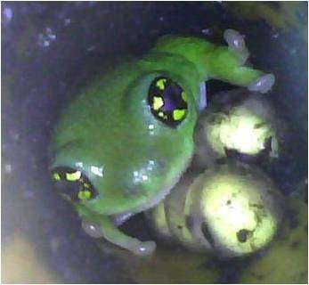 Devoted frog fathers guard their eggs from predators
