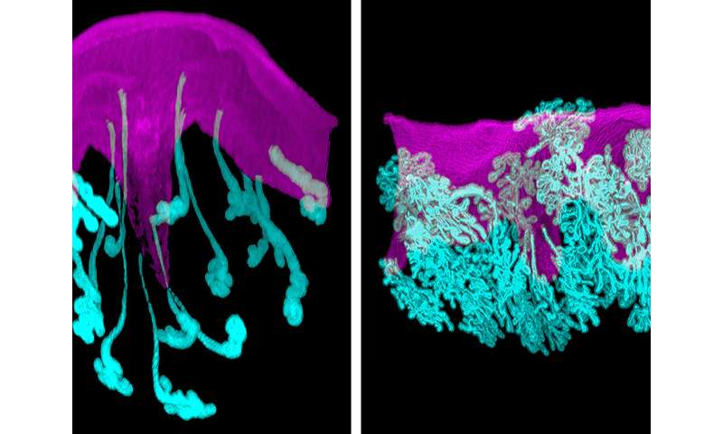 Direct link between glands and implanting embryos critical to pregnancy