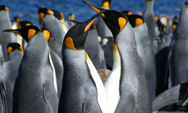 Distinguishing males from females among king penguins
