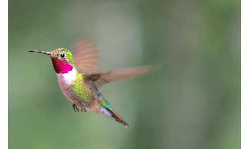 Dive-bombing for love: Male hummingbirds dazzle females with a highly synchronized display