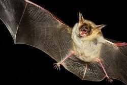 DNA repair genes in bats could be the key to understanding the ageing process
