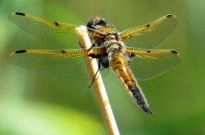Dragonfly enzymes point to larger evolutionary dynamics