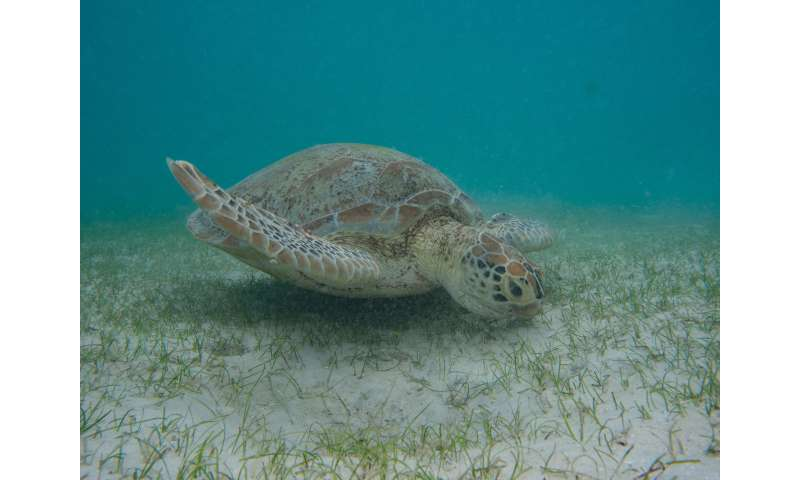 Dugong and sea turtle poo sheds new light on the Great Barrier Reef's seagrass meadows
