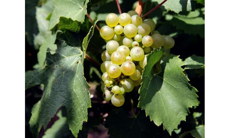 Eighty-nine percent of French grapes contain traces of pesticide, a new report has found