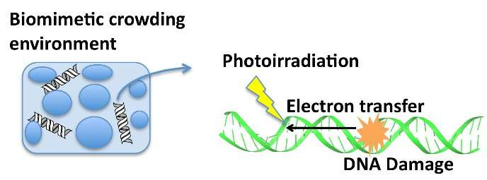 Electron transfer and oxidative damage in DNA in a biomimetic crowding environment
