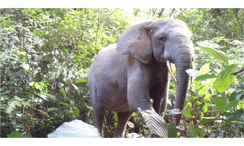 Elephant declines imperil Africa's forests