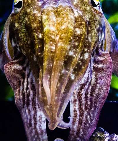 Elucidating cuttlefish camouflage