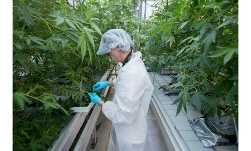 Employee Jason Gagne trims cannabis plants at Up's factory in Lincoln, Ontario