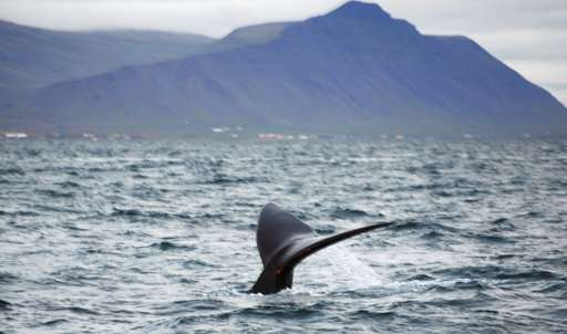 Endangered whale seen off Iceland, 3rd there in 30 years