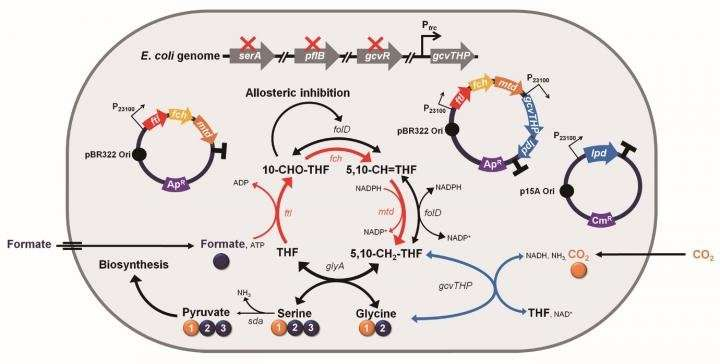 Engineered E. coli using formic acid and CO2 as a C1-refinery platform strain