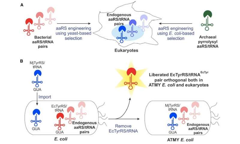 Engineered genetic machinery derived from E. coli delivers new amino acids to proteins