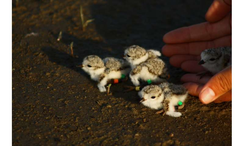 Engineered sandbars don't measure up for nesting plovers