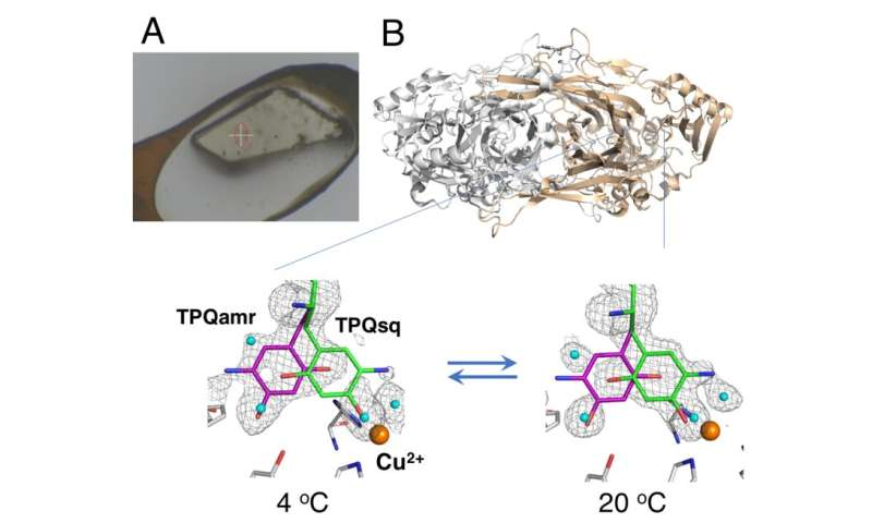 Enzyme's unfrozen adventure: In crystallo protein thermodynamics
