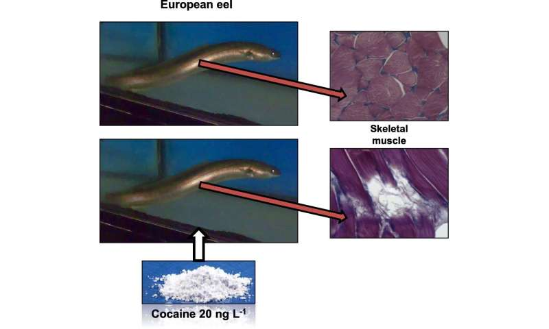 European eels found to suffer muscle damage due to cocaine in the water