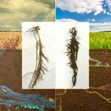 Even a single species of bacteria can positively affect soils and plants