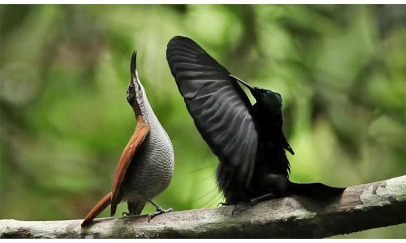 Evolved illusion—blackest black gives bird of paradise an edge