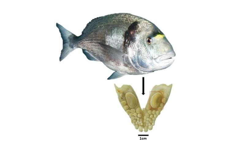 Extensive trade in fish between Egypt and Canaan already 3,500 years ago