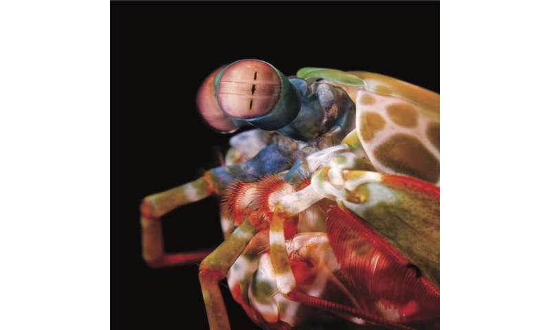 Extreme mobility of mantis shrimp eyes