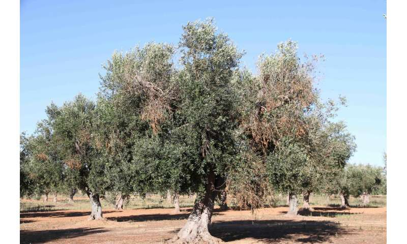 Eye-in-the-sky to save olive trees
