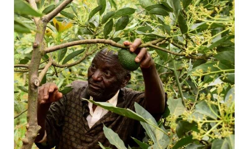 Farmers like growing avocado as it needs less tending