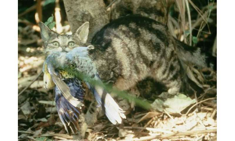 Feral cats are among the reasons why some bird species in Australia are in danger of becoming extinct