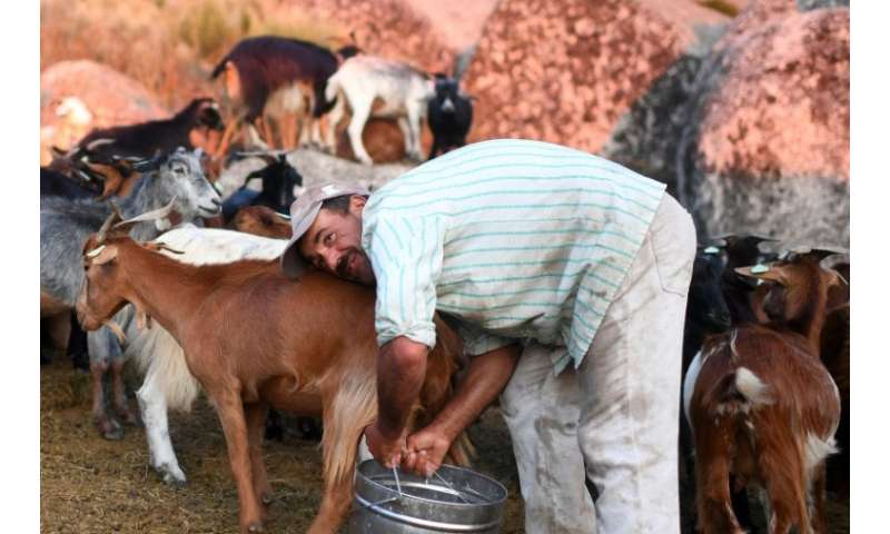 Fernando Moura and his herd of goats are part of a pilot project to clear combustible scrubland from some of Portugal's major mo