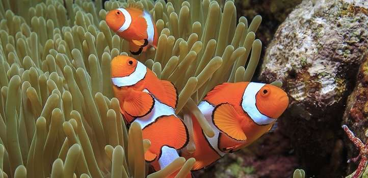 Finding Nemo's genes—reef fish genome mapped and shared