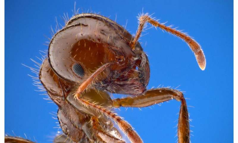 Fire ant colonies could inspire molecular machines, swarming robots