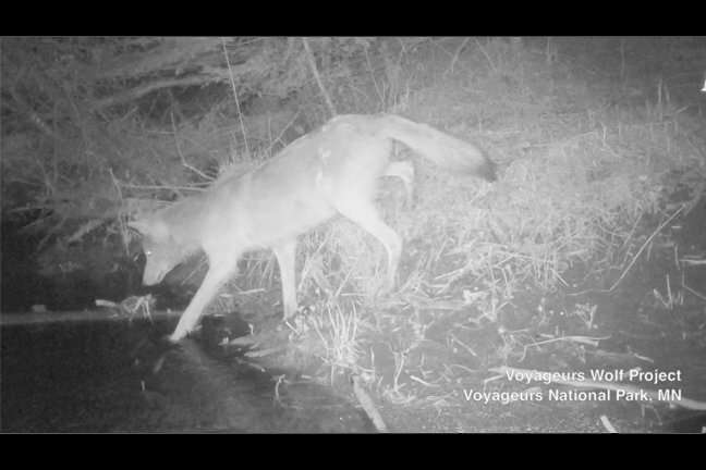 First-ever footage of wolves hunting freshwater fish  Firsteverfoo